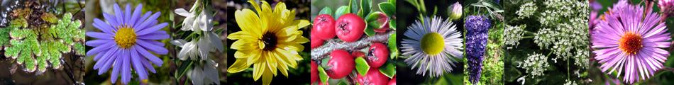 Plantes invasives en Lorraine