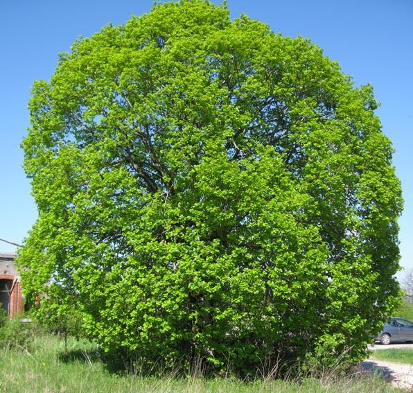 Tilia - Tilleul a grandes feuilles ...