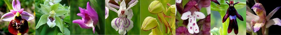 54 - Orchidées de Lorraine calcaire