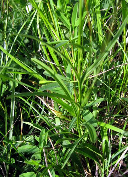 Campanula - Campanule a feuilles de pecher ...