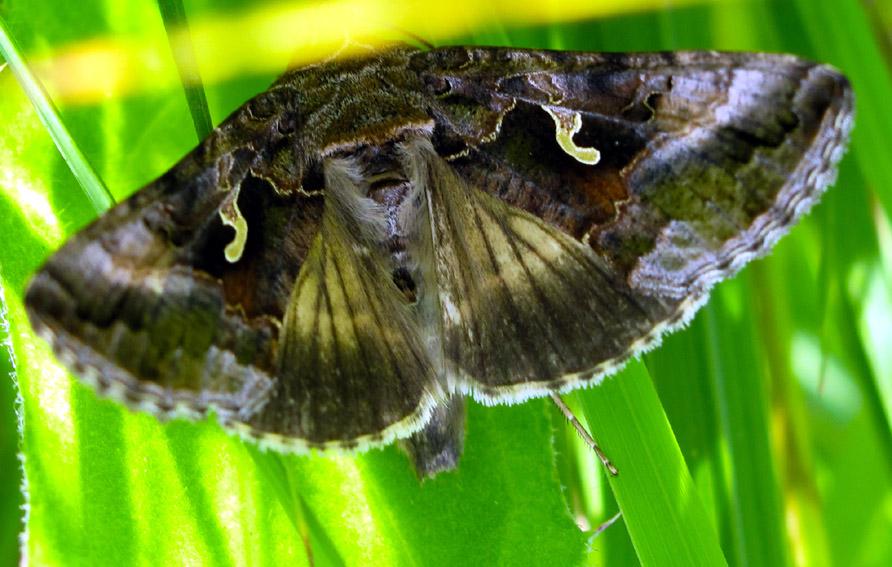 Autographa - Gros papillon de nuit dangereux ...